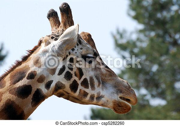 giraffe head - csp5282260