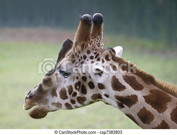 Giraffe head - csp7383803