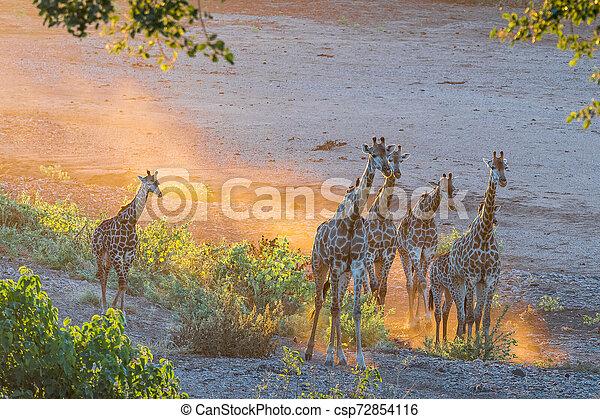 Giraffe herd in the last rays of sunlight - csp72854116