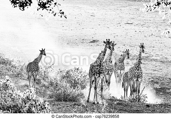 Giraffe herd in the last rays of sunlight. Monochrome - csp76239858