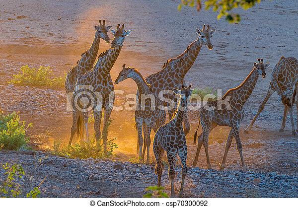 Giraffe herd in the last rays of sunlight - csp70300092