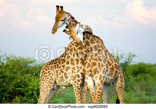 Giraffe hug - csp9029065