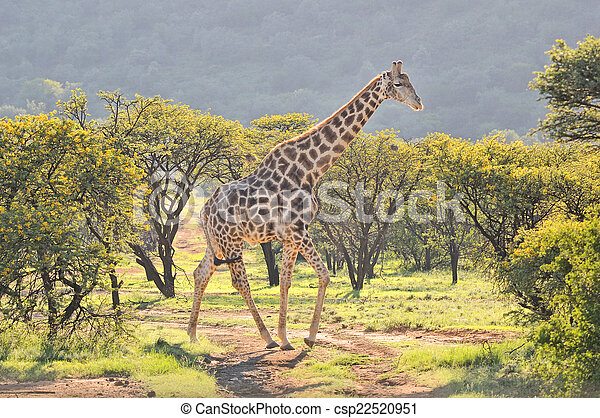 Giraffe in grass and acacia field - csp22520951