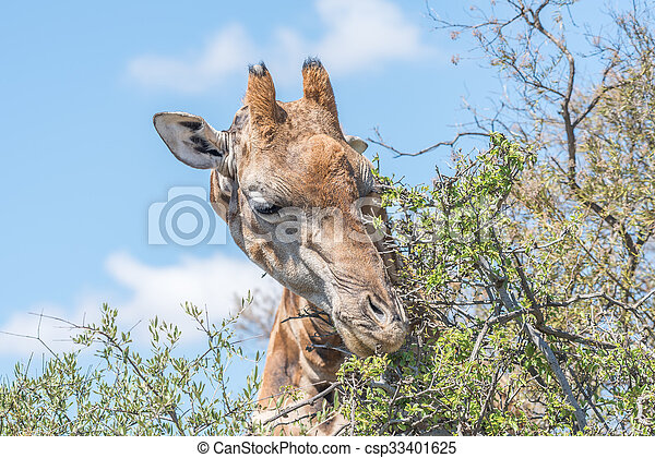 Giraffe in the Franklin Nature Reserve  - csp33401625