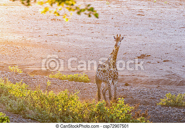 Giraffe in the last rays of sunlight - csp72907501