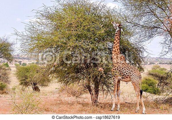 Giraffe in the wild - csp18627619