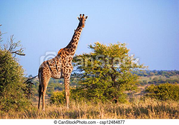 Giraffe on savanna. Safari in Serengeti, Tanzania, Africa - csp12484877