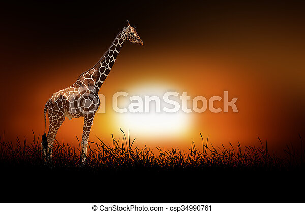 Giraffe on the background of sunset - csp34990761