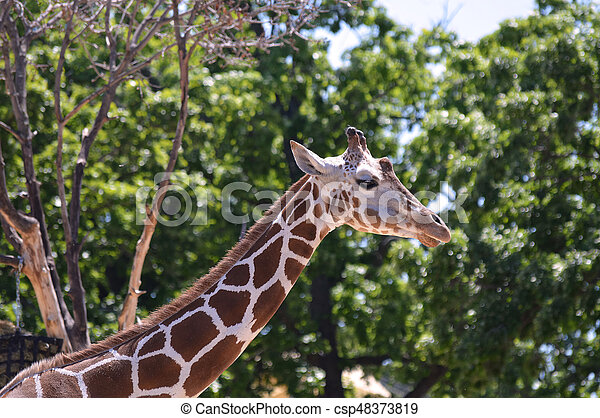 Giraffe - csp48373819