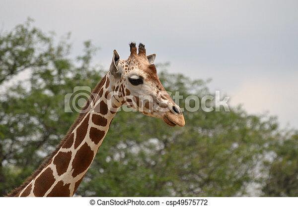 Giraffe - csp49575772