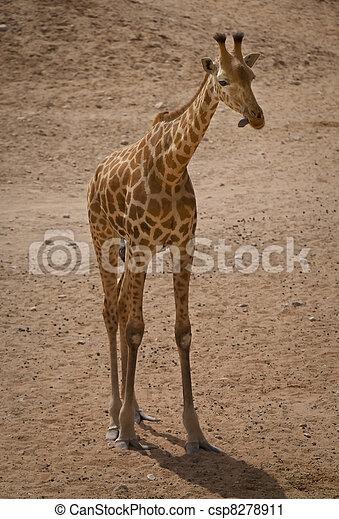 Giraffe - csp8278911