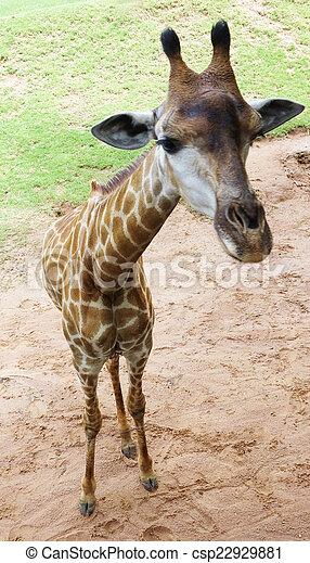 giraffe - csp22929881