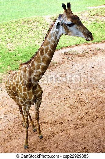 giraffe - csp22929885