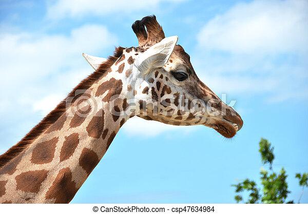 Giraffe - csp47634984
