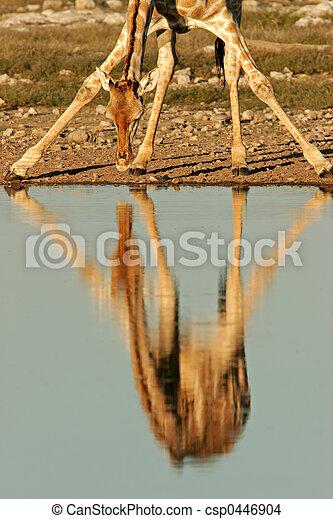 Giraffe reflection - csp0446904