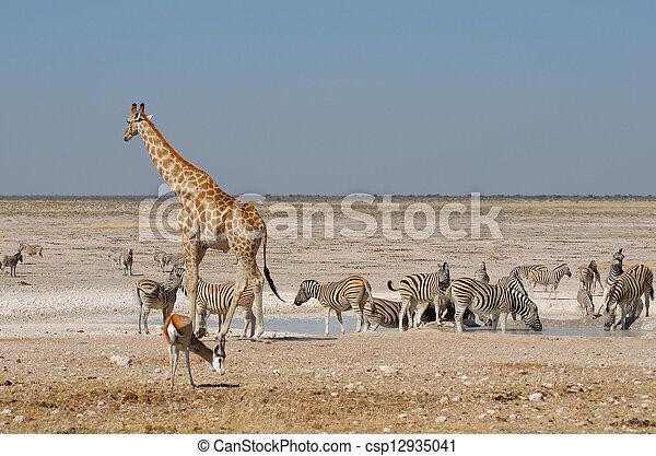Giraffe, Springbok and zebras - csp12935041