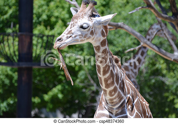 Giraffe - csp48374360