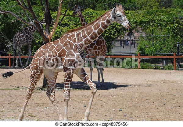 Giraffe - csp48375456