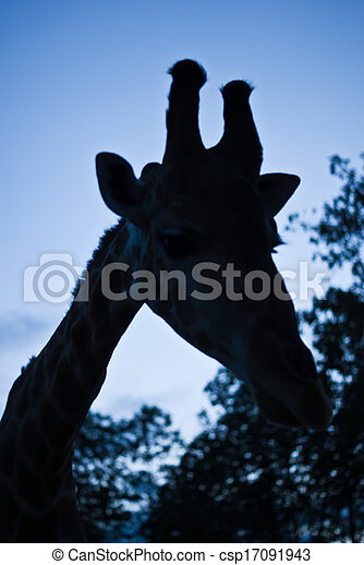 Giraffe - csp17091943