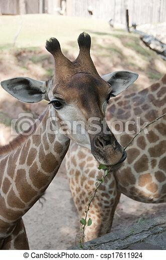 Giraffe. - csp17611924