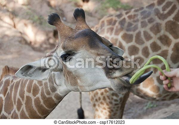 Giraffe. - csp17612023