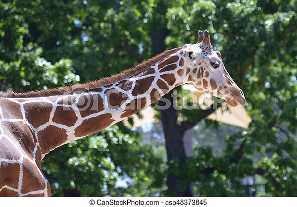 Giraffe - csp48373845