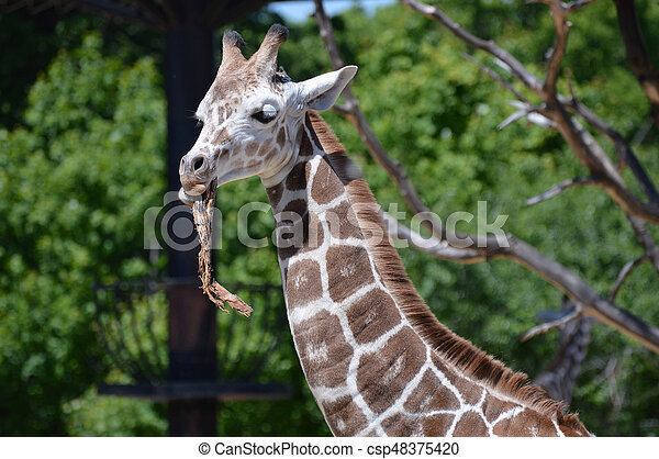 Giraffe - csp48375420