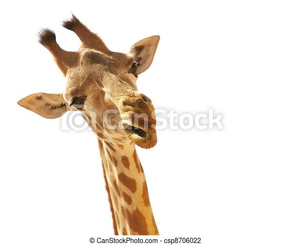 Giraffe - csp8706022