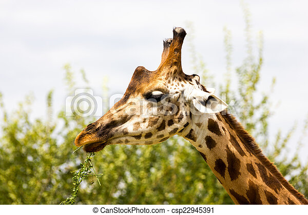 Giraffe - csp22945391