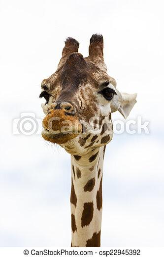 Giraffe - csp22945392