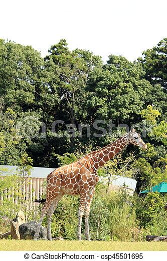 giraffe - csp45501695
