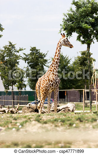 Giraffe - csp47771899