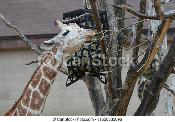 Giraffe - csp50385096