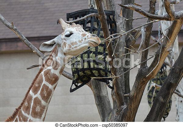 Giraffe - csp50385097