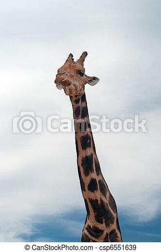 Giraffe - csp6551639