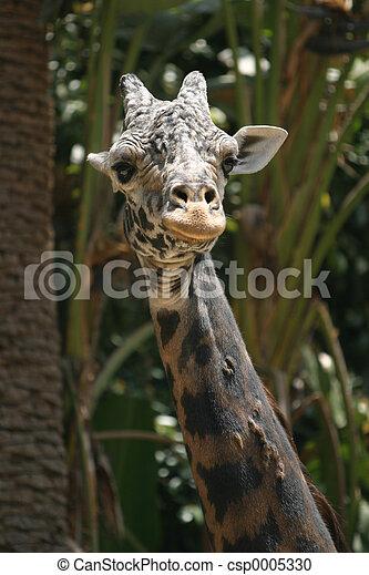 Giraffe - csp0005330