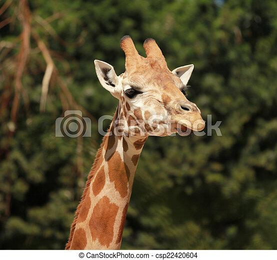 Giraffe - csp22420604