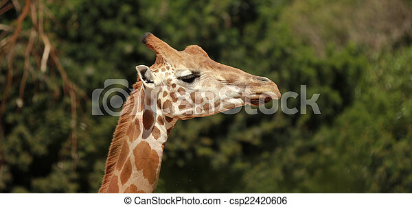 Giraffe - csp22420606