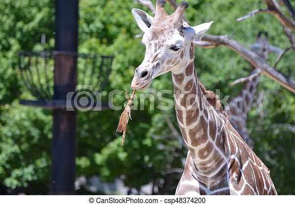 Giraffe - csp48374200