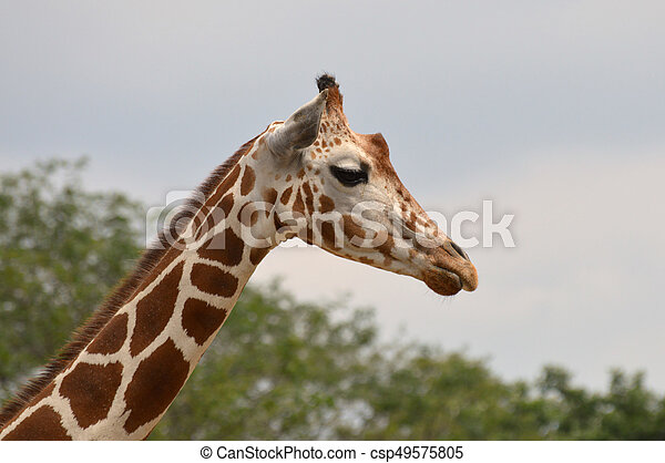 Giraffe - csp49575805