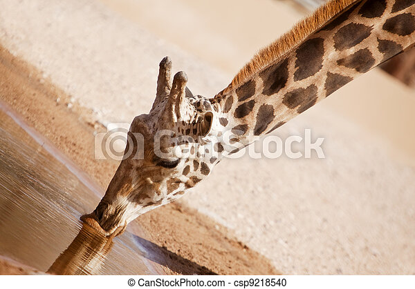 Giraffe - csp9218540