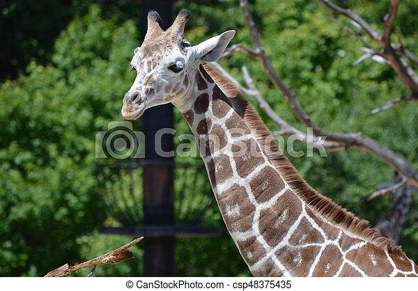 Giraffe - csp48375435