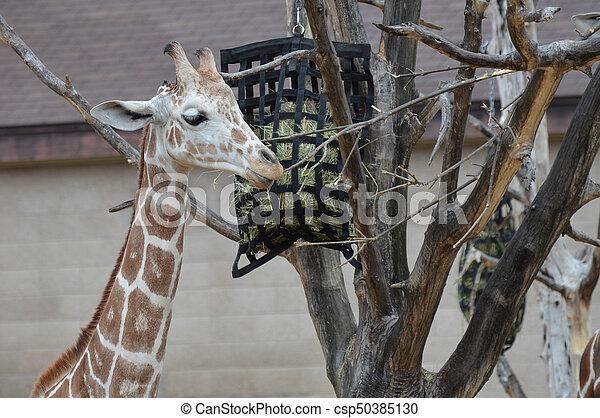 Giraffe - csp50385130