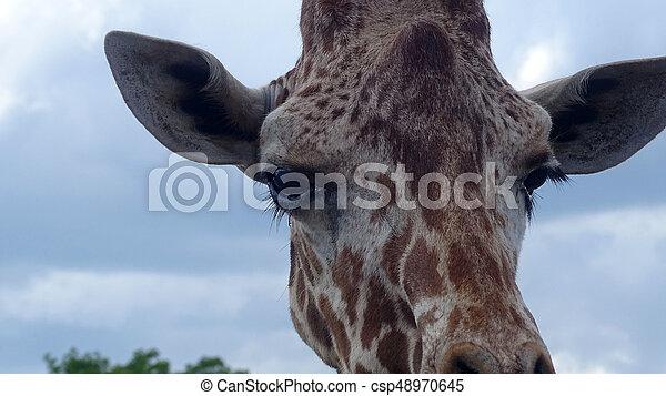 Giraffe with blue sky backgroud. - csp48970645