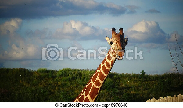 Giraffe with blue sky background. - csp48970640