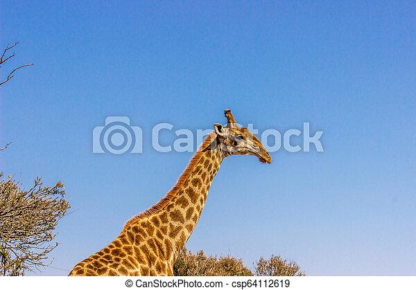 Giraffe with blue sky - csp64112619