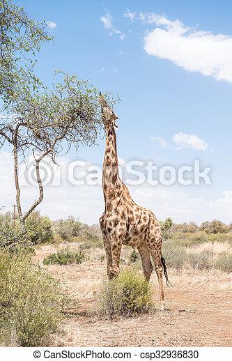 Giraffe with tongue visible - csp32936830