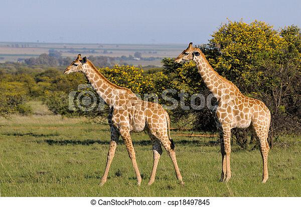 Giraffes 2 - csp18497845