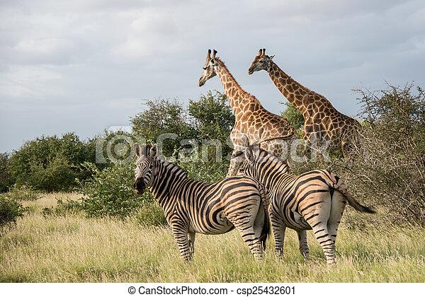 Giraffes and Zebras - csp25432601