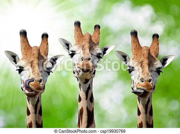 Giraffes - csp19930769